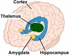 anxiety panic disorder treatment amygdala