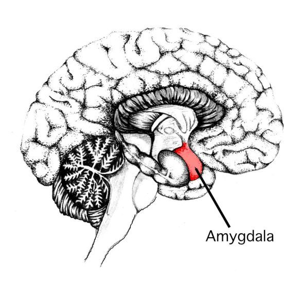 Meditation reduces amygdala and treat anxiety