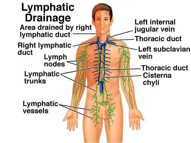 lymphatic cleansing hydrating, Human Body