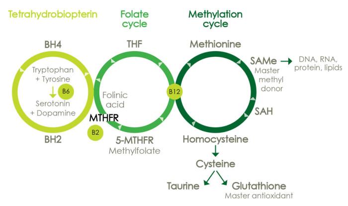 MTHFR gene mutation in neurotransmitters