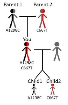 MTHFR gene mutation hereditary genetics